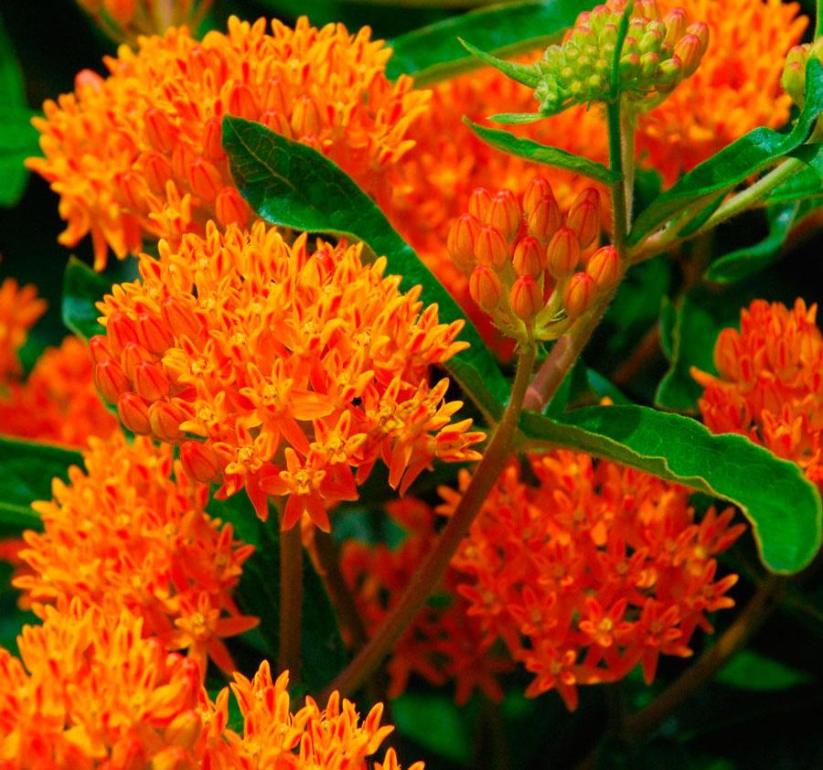 доисторические времена, цветок ваточник фото пресноводного