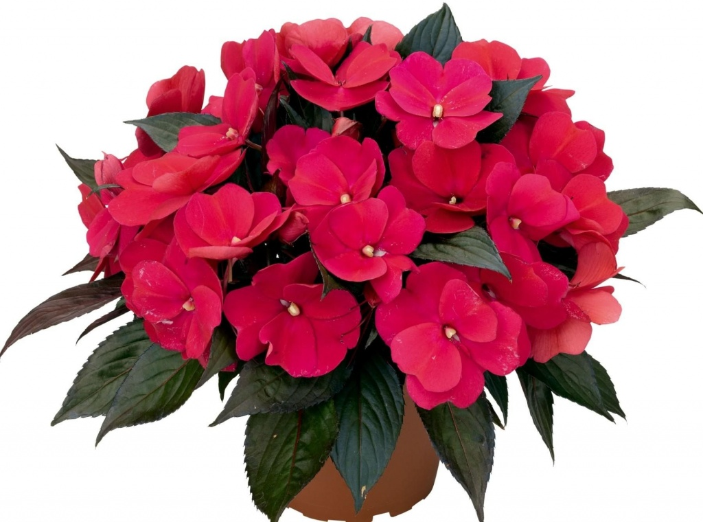Цветущие комнатные растения неприхотливые