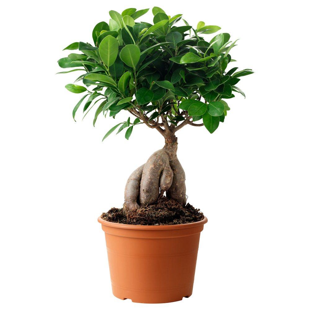 знаменитых личностей комнатные деревья картинки отдают корням