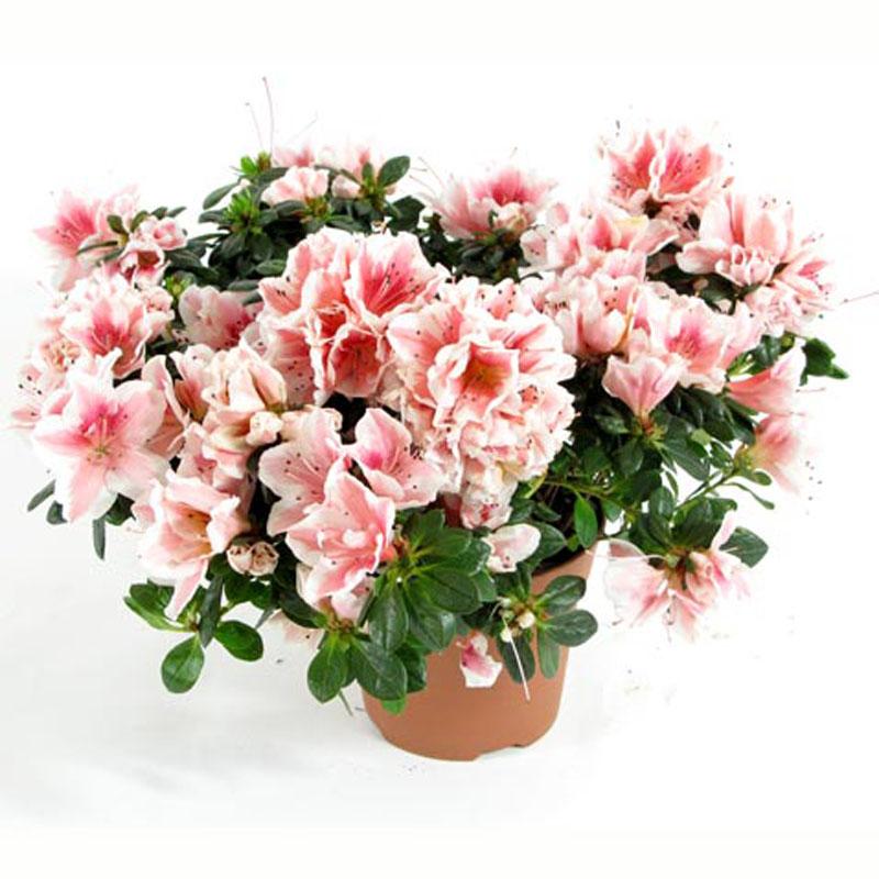 комнатные цветы цветущие