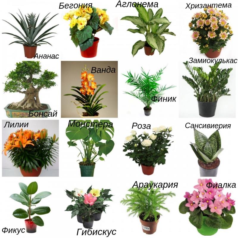 Комнатные распространенные цветы